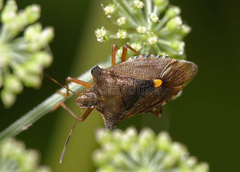 Czerwononogi shieldbug obraz royalty free