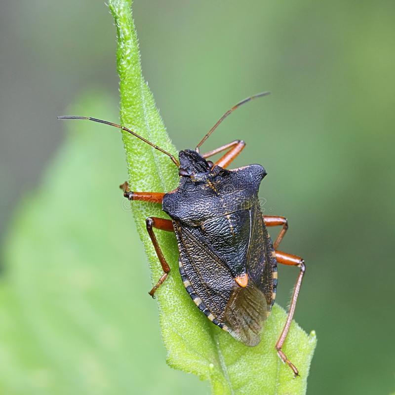 Czerwononogi Shieldbug, Pentatoma rufipes obraz stock