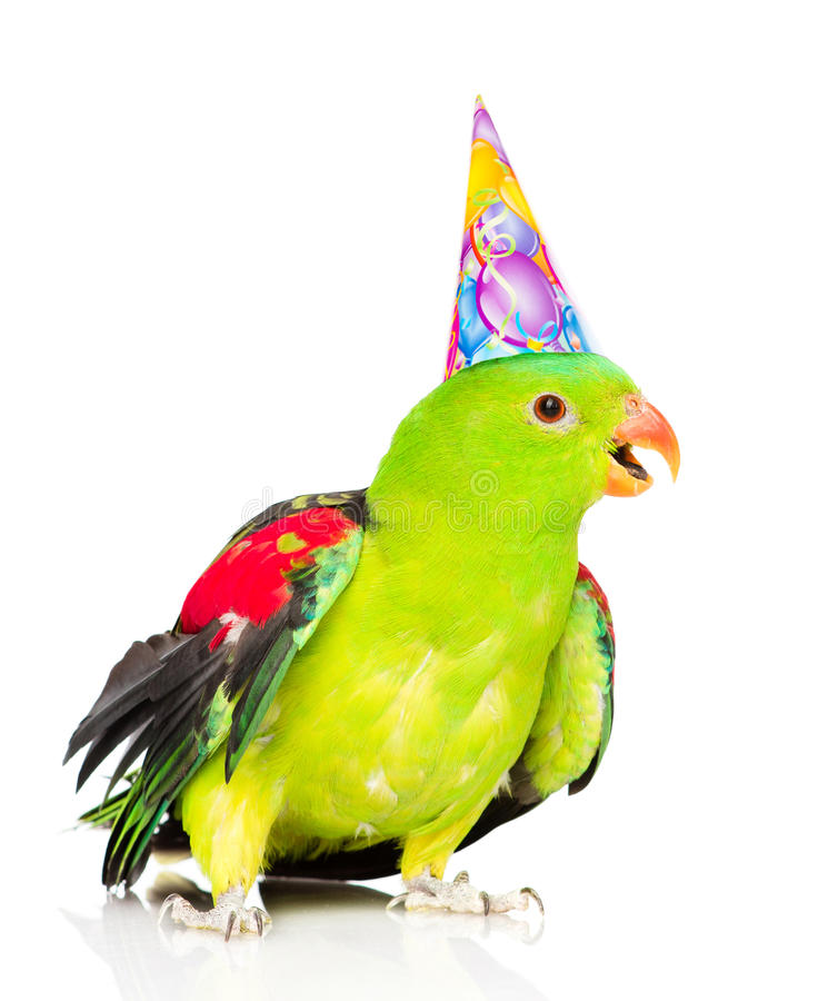 czerwonoskrzydła papuga w urodzinowej kapeluszowej patrzeje kamerze Odizolowywający na bielu fotografia stock