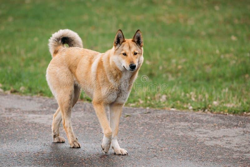 Czerwony Średniego rozmiaru trakenu bezdomny psa Mieszający spacer Plenerowy obrazy stock