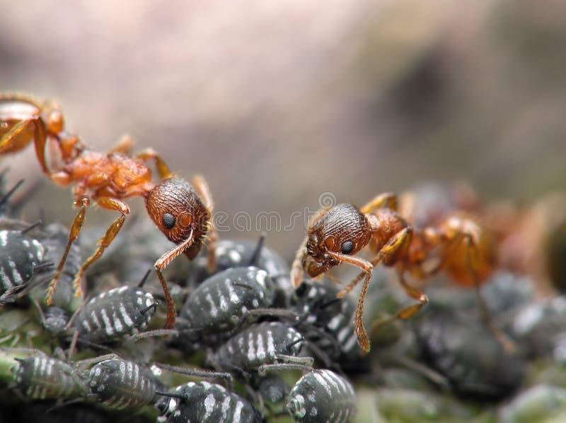 czerwony 2 mrówki. zdjęcia stock