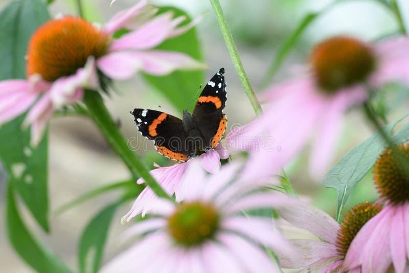 Czerwony Admiral motyl siedzi na górze kwiatu fotografia stock