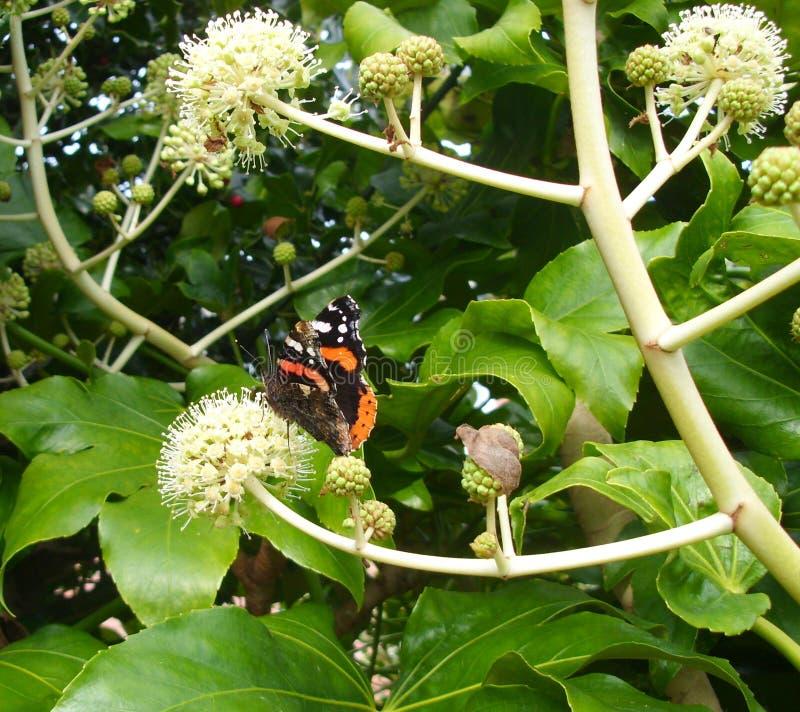 Czerwony Admiral Motyli Vanessa Atalanta na Fatsia kwiacie, Boczny widok od Za zdjęcia royalty free