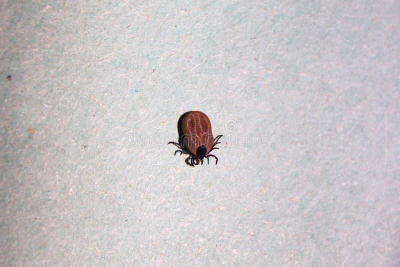 Czerwony aksamitny lądzieniec lub deszczu pluskwy Trombidiidae zdjęcia stock