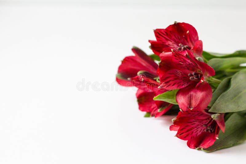 Czerwony alstroemeria na białym tle obraz stock