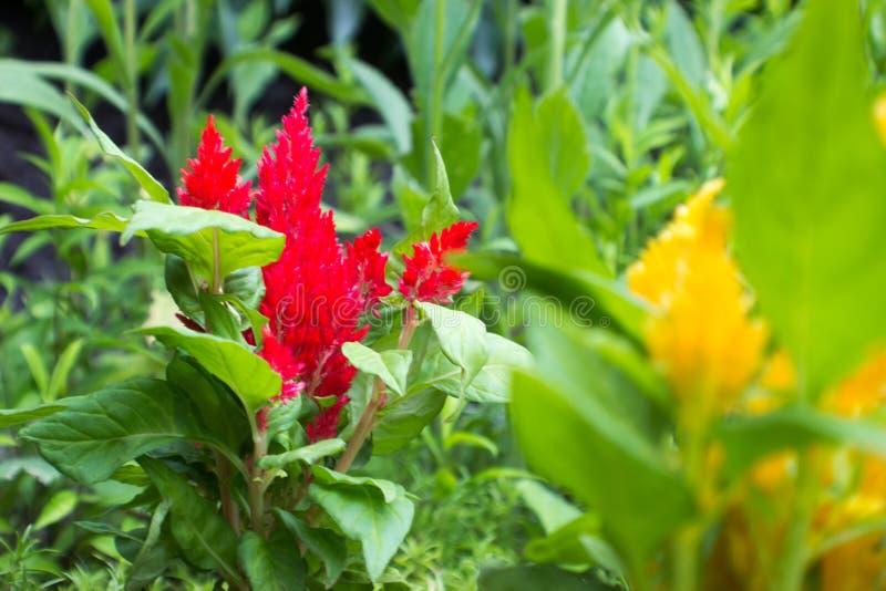 Czerwony amaranthus zdjęcia royalty free