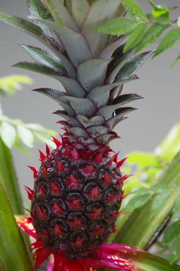 Czerwony ananasa deszcz fotografia royalty free
