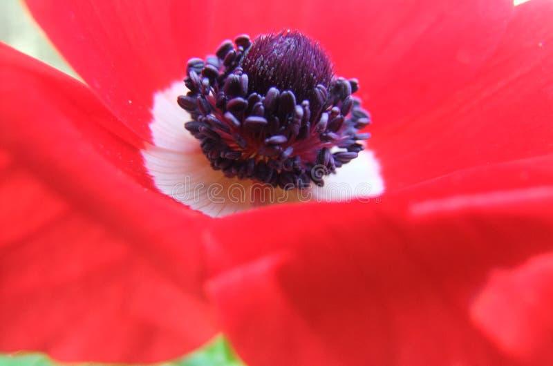 Czerwony anemon zdjęcie stock