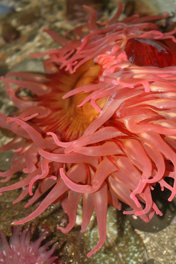czerwony anemonowa obrazy stock