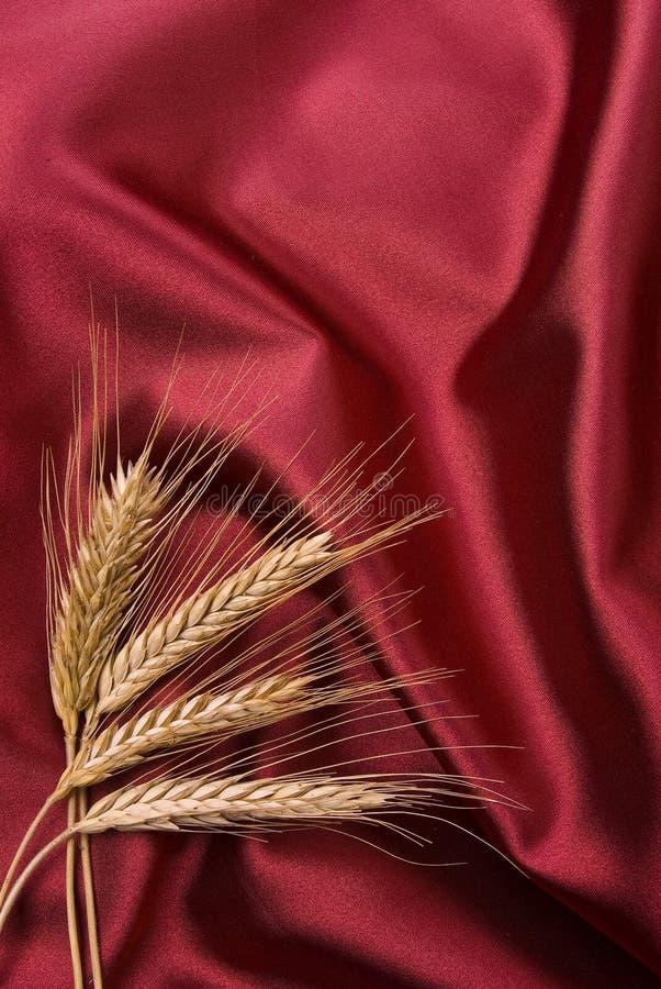czerwony atłas uszy kukurydziane zdjęcie royalty free