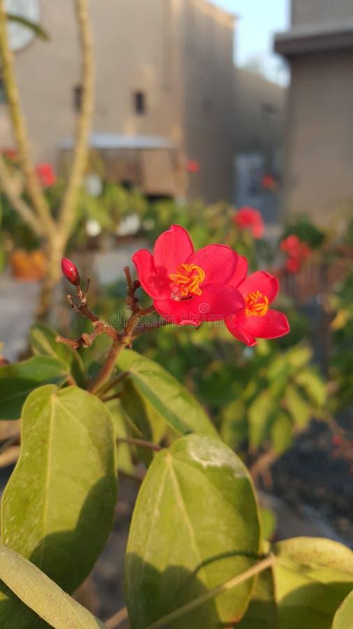 Czerwony Błyszczący kwiat obrazy royalty free