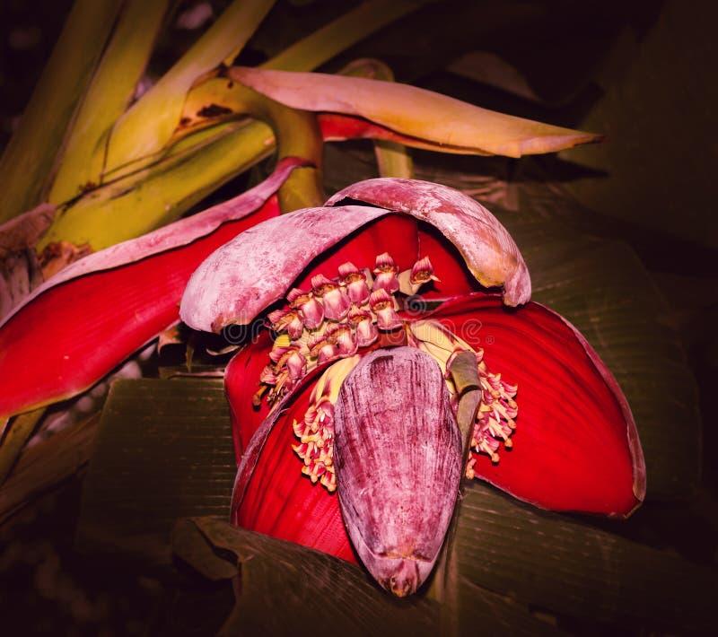 Czerwony Bananowy kwiat fotografia royalty free