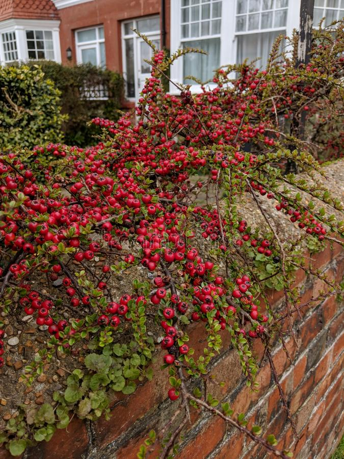 Czerwony Berry& x27; s zdjęcie stock