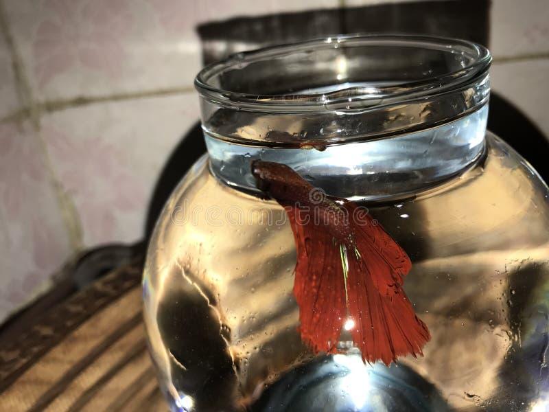 Czerwony Betta rybi majestatyczny zdjęcia stock