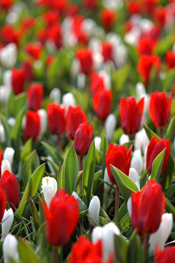 czerwony białe kwiaty obrazy stock