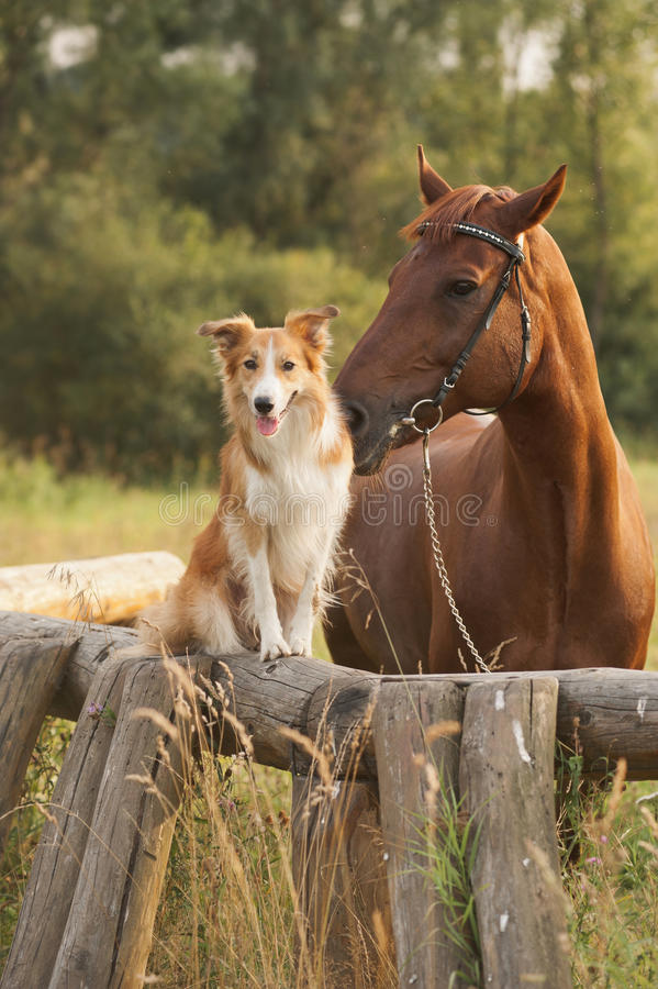 Czerwony Border collie pies, koń i zdjęcia royalty free