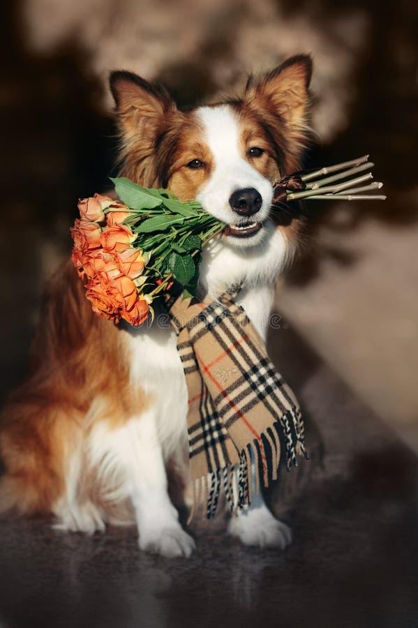 Czerwony Border Collie pies trzyma bukiet kwiaty zdjęcie royalty free