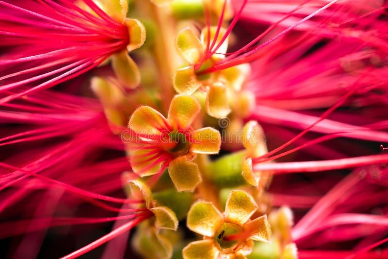 Czerwony Bottlebrush kwiat Makro- zdjęcie royalty free