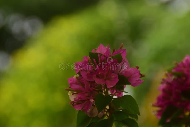 Czerwony bougainvilla w bokeh zdjęcie royalty free