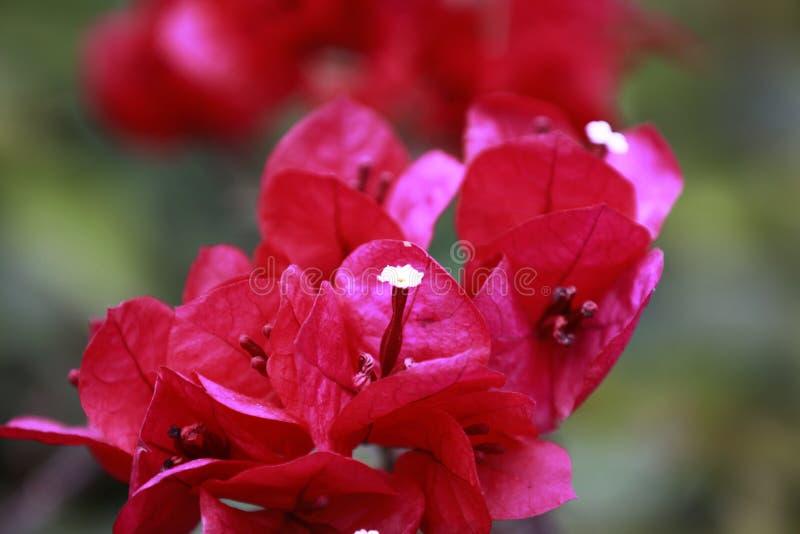 Czerwony bougainvillea w pełnym kwiacie z wod kroplami i zielonym liściem zdjęcie stock
