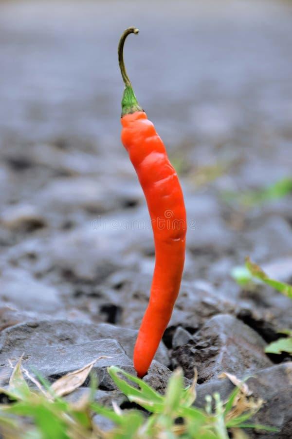 Czerwony Chłodny warzywo zdjęcia stock