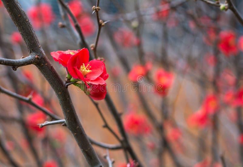 Czerwony Chaenomeles japonica kwiat na śniadanio-lunch bez liści w Toowoomba, Australia obrazy stock