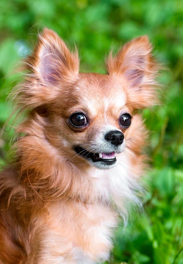 czerwony chihuahua psa portret na w górę naturalnego tła fotografia royalty free