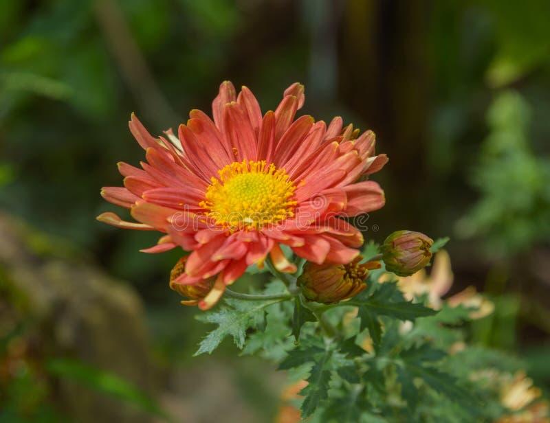 Czerwony chryzantema kwiat fotografia stock