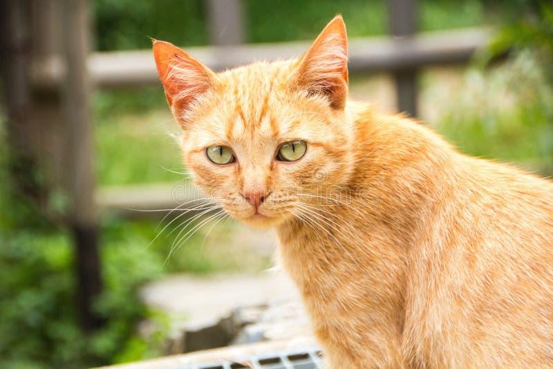 Czerwony chuderlawy uliczny kot z kolorów żółtych oczami na tła zielonych nieociosanych gapieniach uważnie przy kamerą Pomarańczo obraz royalty free