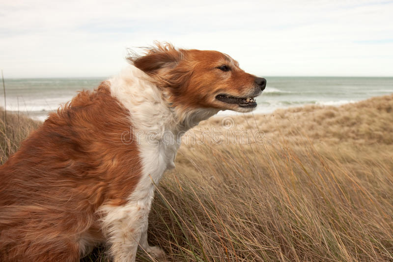 Czerwony collie typ pies w ammophila marram trawie przy b obrazy stock