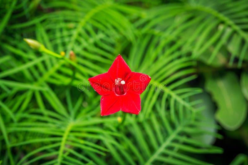 Czerwony cyprysowego winogradu kwiat obraz stock