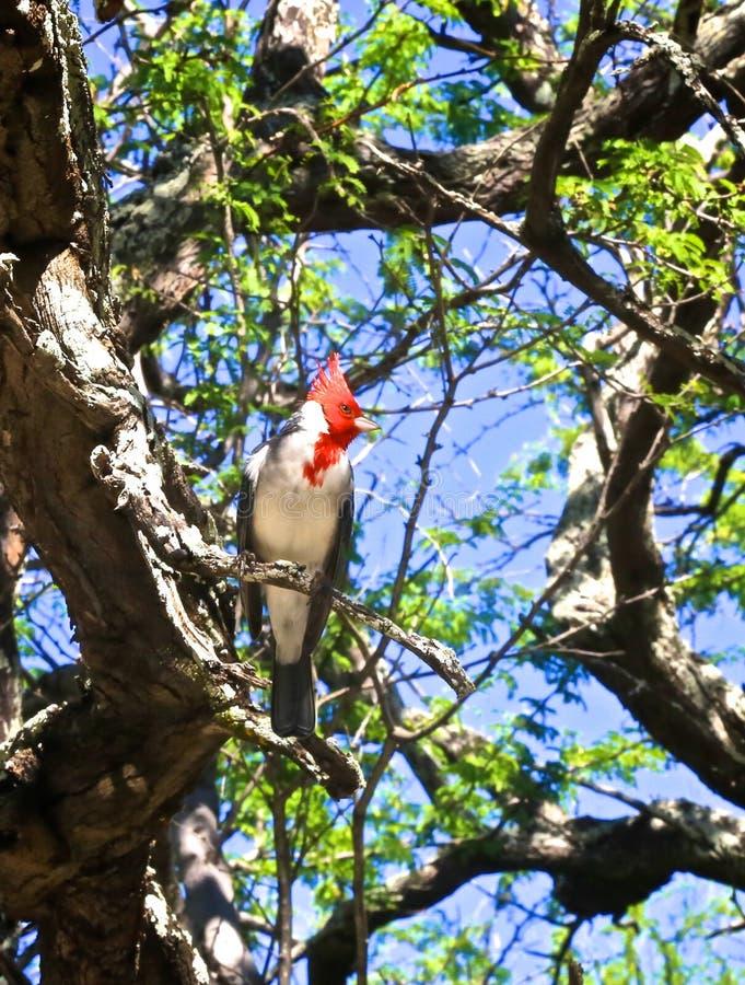 Czerwony Czubaty Główny ptak fotografia royalty free