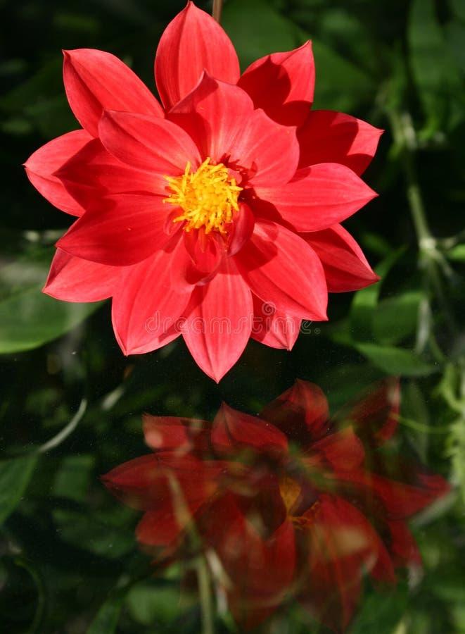 czerwony dahlię zdjęcie stock