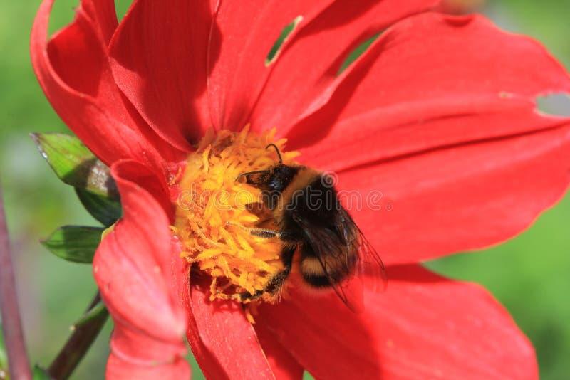 Czerwony Dalhia z pszczołą obrazy stock