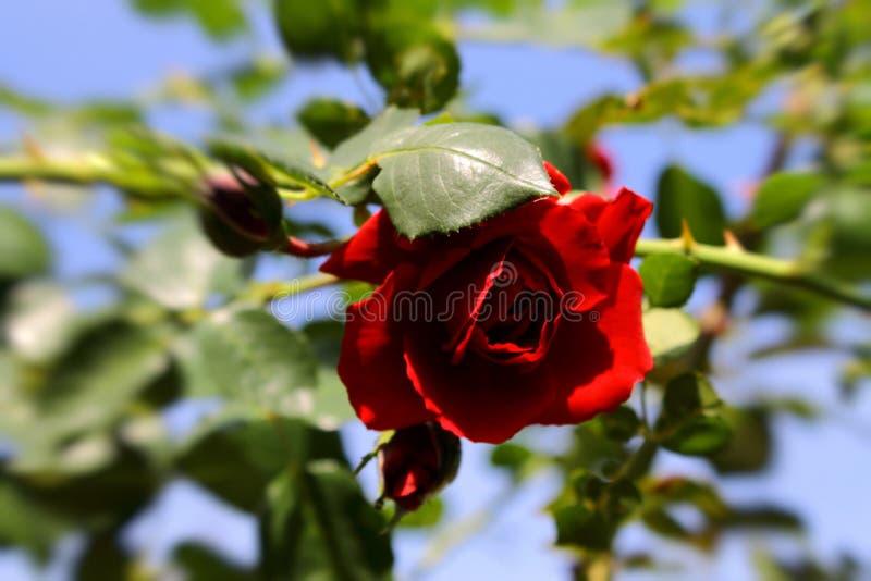 Czerwony delikatny wzrastał w słońcu obrazy stock