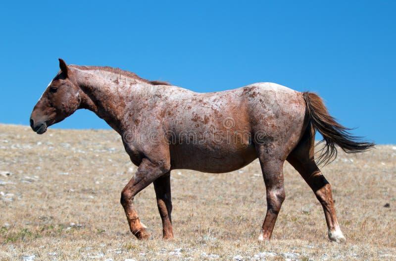 Czerwony Dereszowaty Dziki ogiera mustrang w Pryor Dzikiego konia Halnym pasmie w Montana fotografia royalty free
