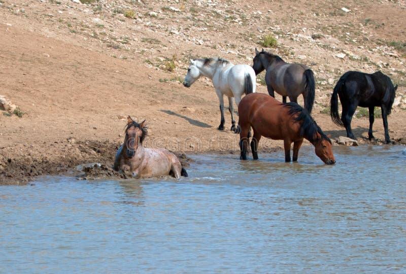 Czerwony Dereszowaty ogiera kołysanie się w wodzie z stadem dzicy konie w Pryor gór Dzikiego konia pasmie w Montana usa obraz royalty free