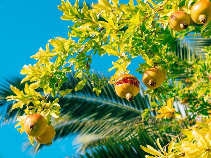 Czerwony dojrzały granatowiec na drzewie Granatowów drzewa w Montenegr zdjęcia royalty free