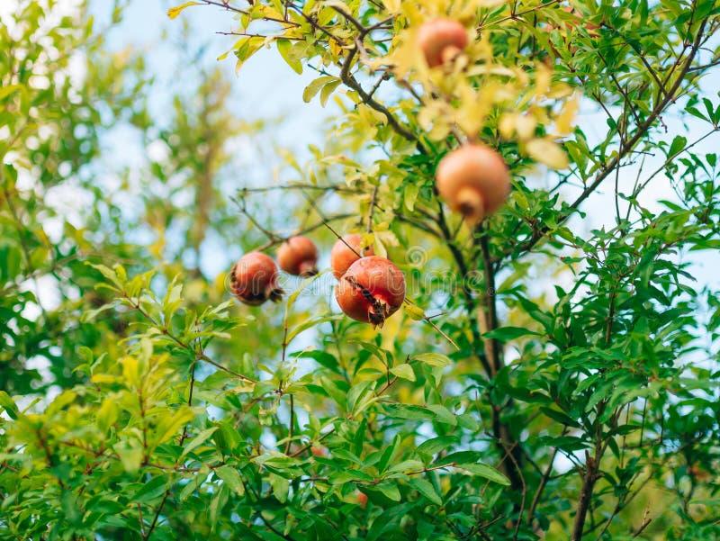 Czerwony dojrzały granatowiec na drzewie Granatowów drzewa w Montenegr obraz royalty free