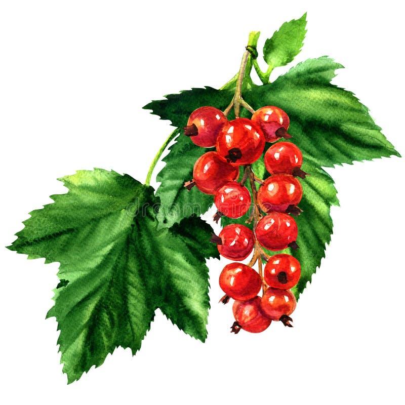 Czerwony dojrzały rodzynek z zieleń liśćmi odizolowywającymi, akwareli ilustracja royalty ilustracja