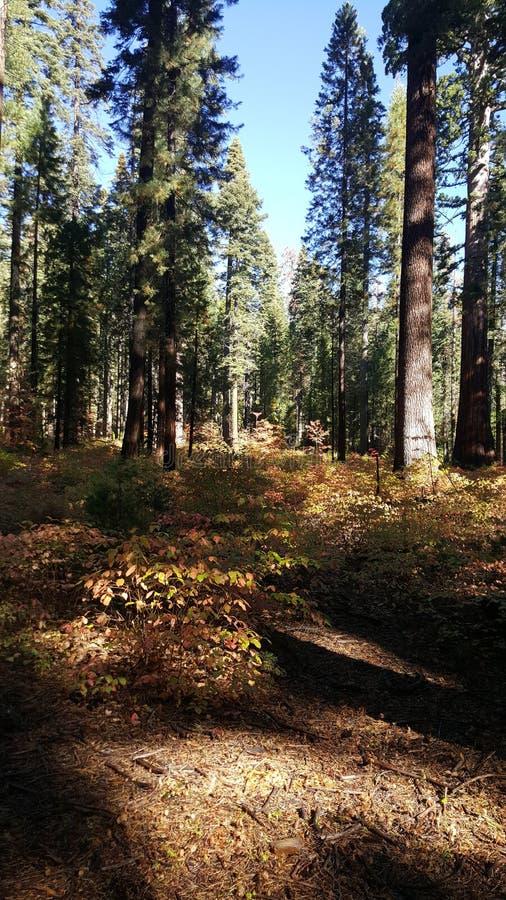 Czerwony drewno w Yosemite zdjęcie royalty free