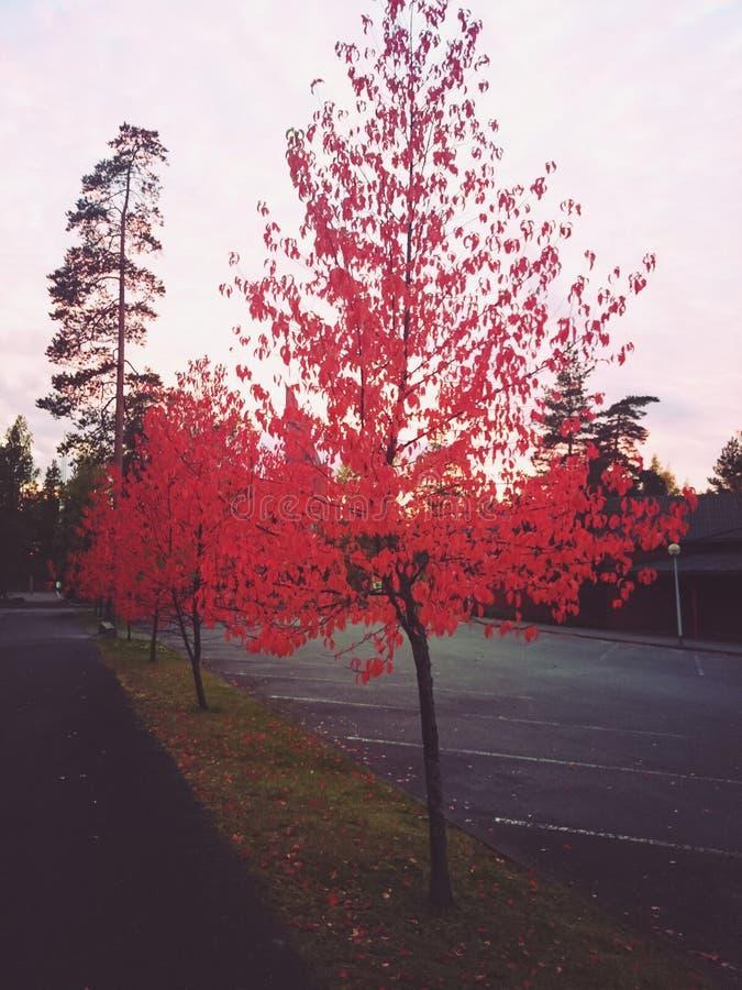 czerwony drzewo obraz royalty free