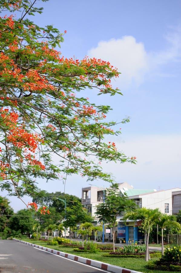Czerwony feniksa kwiat Landcape miasto Tay Ninh Wietnam obraz royalty free