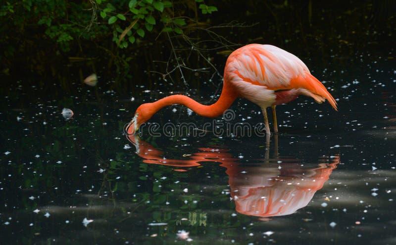 Czerwony flaming szuka jedzenie w wodzie zdjęcia stock