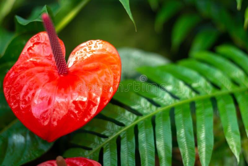 Czerwony flaminga kwiat, anthurium, tailflower lub chłopiec kwiat, zdjęcia royalty free