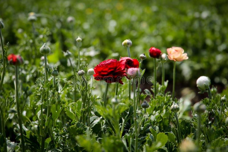 Czerwony flowerRanunculus w polu zdjęcia royalty free