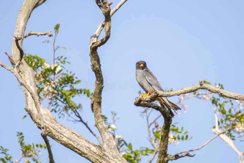 Czerwony Footed jastrząbek, Falco vespertinus obraz royalty free