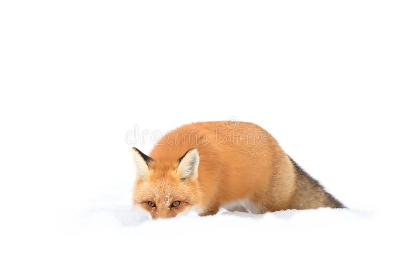 Czerwony Fox zdjęcie royalty free