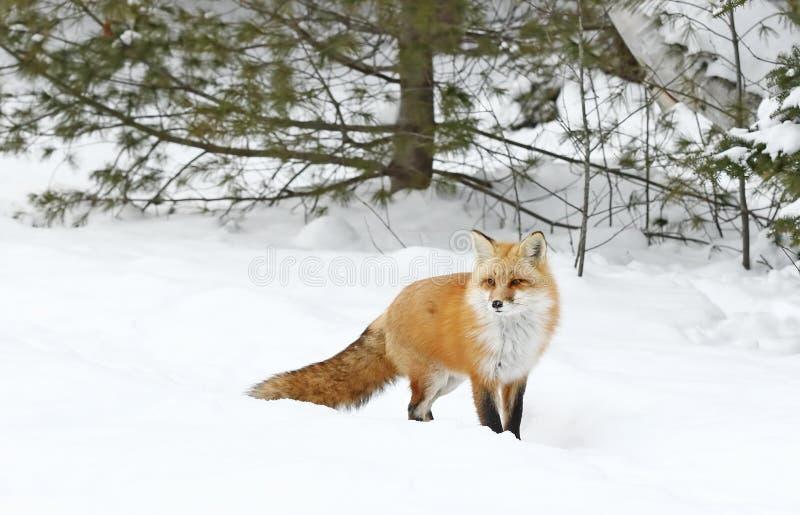 Czerwony Fox zdjęcia stock