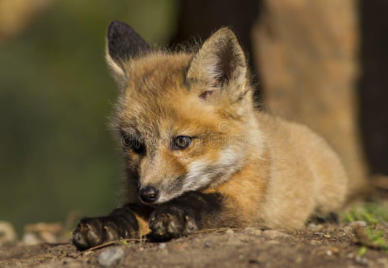Czerwony Fox dziecko fotografia stock